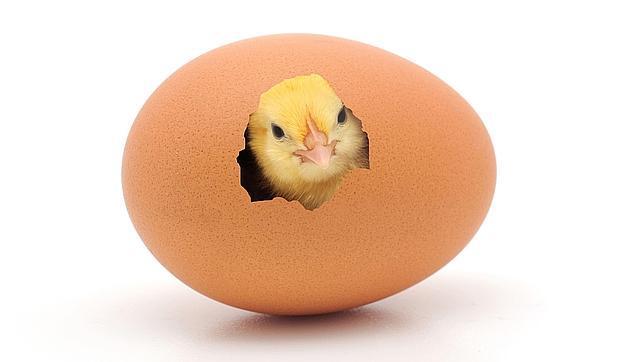 Descubre cuál es el periodo de gestación de las gallinas