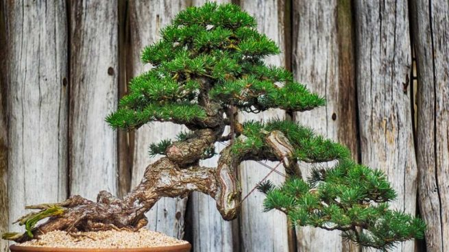 bonsáis más antiguos