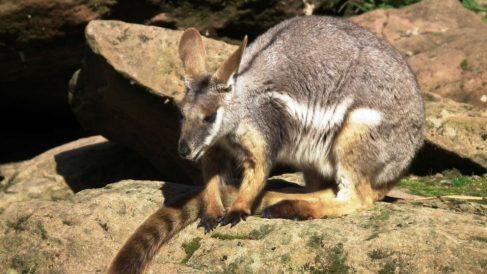 Anota curiosidades sobre los marsupiales australianos