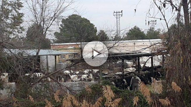 A la alcaldesa podemita de San Fernando de Henares se le escapan las vacas que expropió