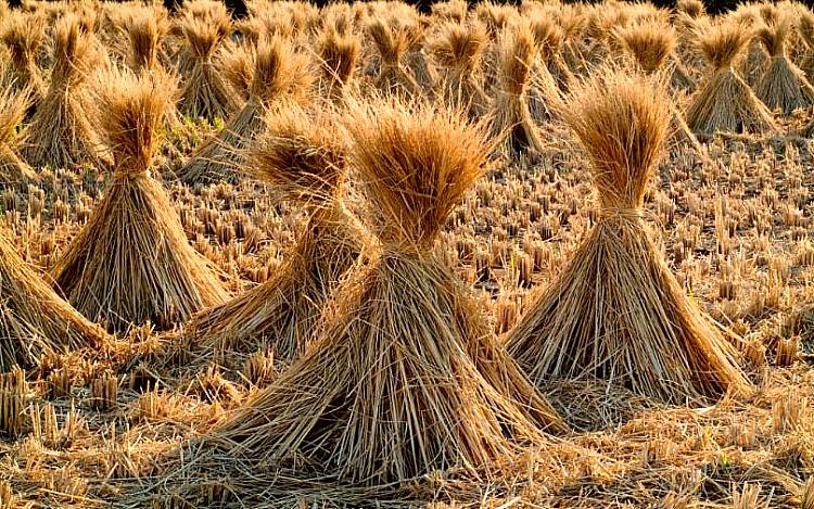 Ninots ecológicos con paja de arroz una investigación de la Universidad Politécnica de Valencia