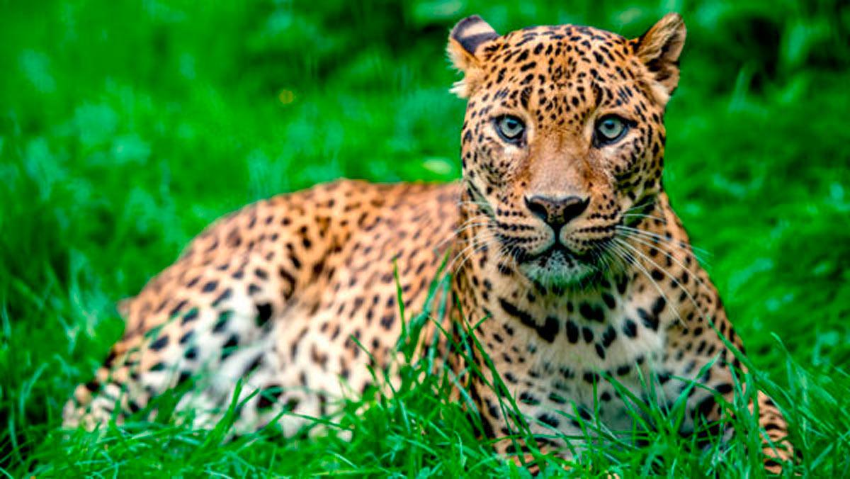 Los 5 datos que no conocías sobre los leopardo