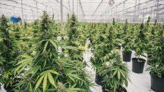 Planta legal de producción de marihuana a de Canopy Growth.