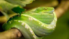 Las serpientes son versátiles y, por tanto, pueden vivir en casi cualquier entorno.
