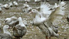 La gripe aviar ha provocado ya el sacrificio de decenas de miles de patos en Cataluña. (AFP)