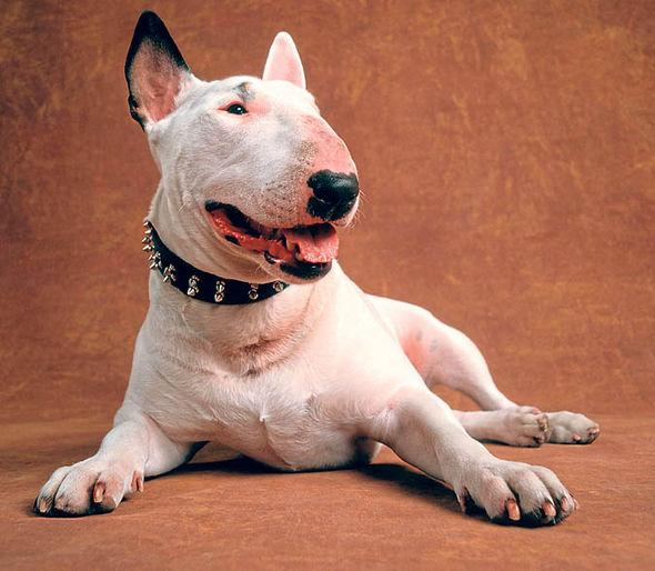 5 cosas que no sabíamos sobre el bull terrier