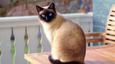 Descubre por qué ronronean los gatos