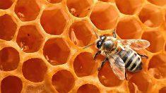 ¿Cómo las abejas producen la miel?