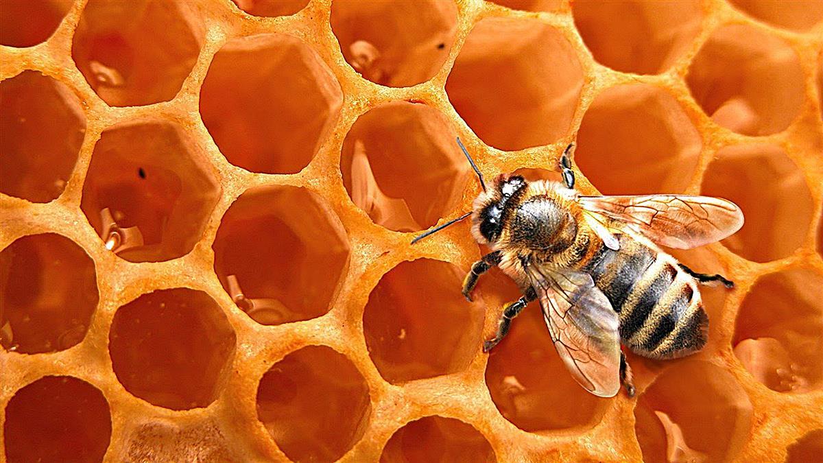 Abejas de la miel