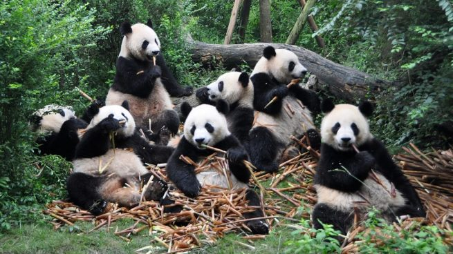 Datos Curiosos Sobre Los Osos Panda Gigantes