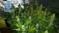 Una plantación hidropónica casera de marihuana.