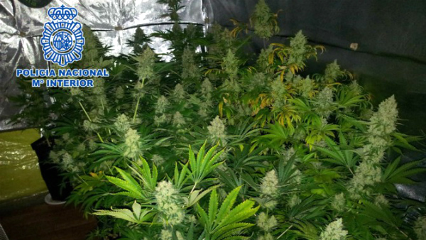 Marihuana-plantacion-hidroponica