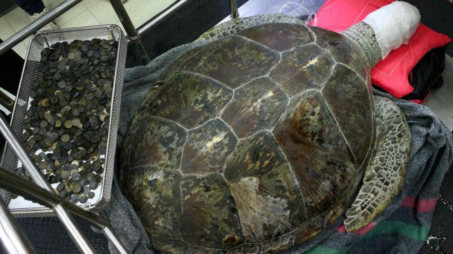 La tortuga 'Omsin' ('Hucha en tailandés) tras la extracción de las 915 monedas que se había tragado y que le envenenaron la sangre. Foto: Agencias