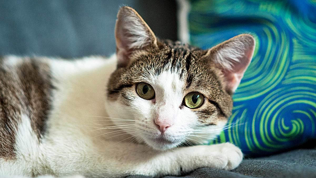 Por qué los gatos amasan
