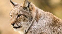 El lince es un mamífero felino, de unos 100 a 120 cm de longitud, pelaje pardo o rojizo.