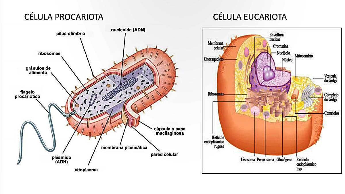 La célula y las estructuras celulares: Eucariotas y Procariotas