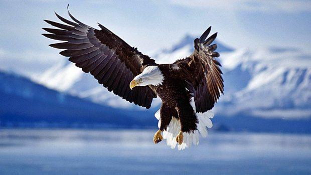 El águila calva: Cazadoras