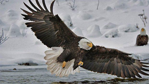 El águila calva: Fieles con sus parejas