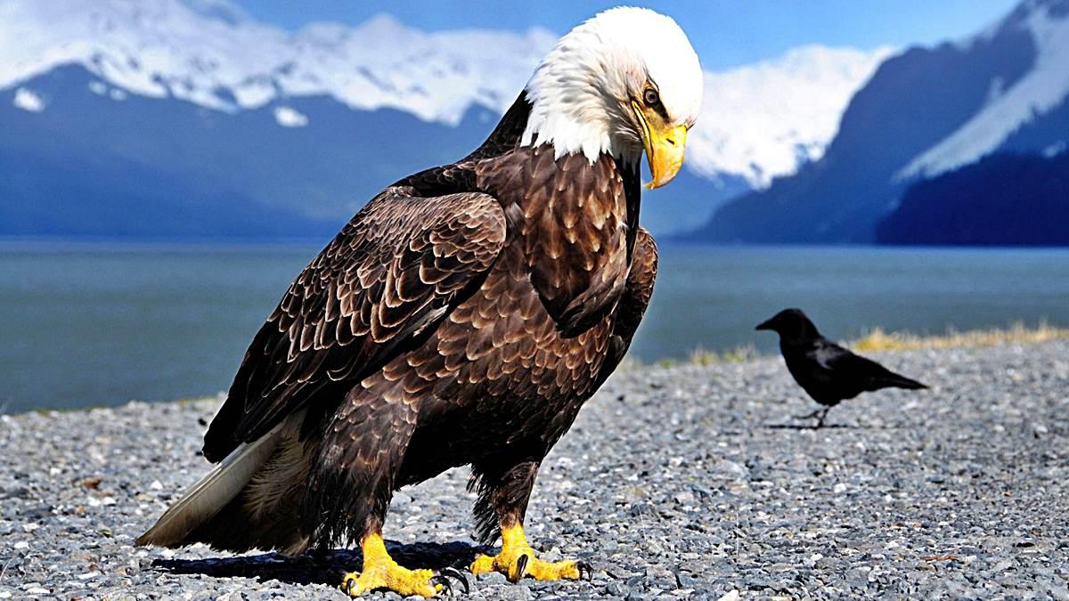 El águila Calva Datos Interesantes