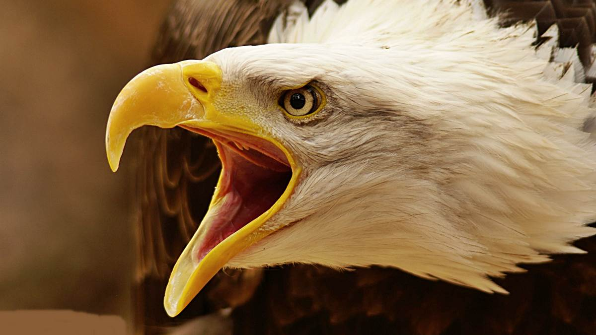 El águila calva: datos interesantes