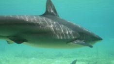 Los tiburones se caracterizan por ser grandes depredadores.