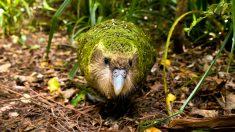 5 especies de aves que no vuelan
