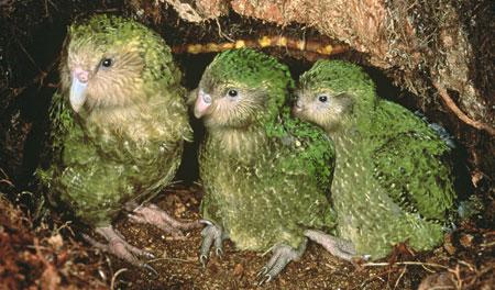 Familia de kakapus