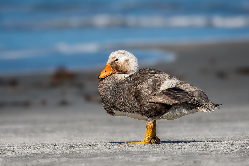 Pato vapor austral