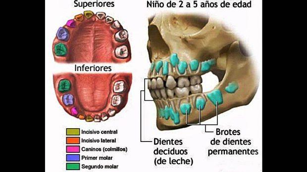 clases de dientes humanos