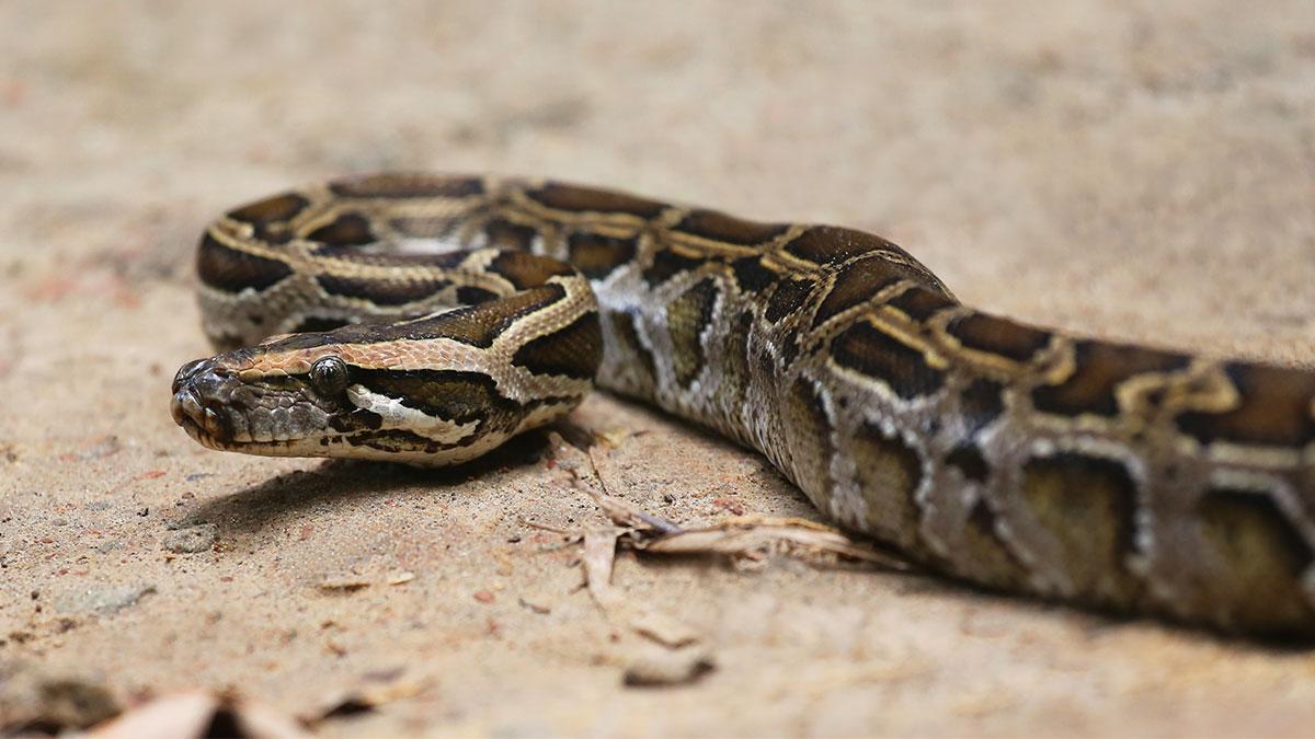 Boas y pitones, ¿qué diferencias hay entre estas serpientes?