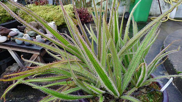 Plantas carnívoras: Drosera regia