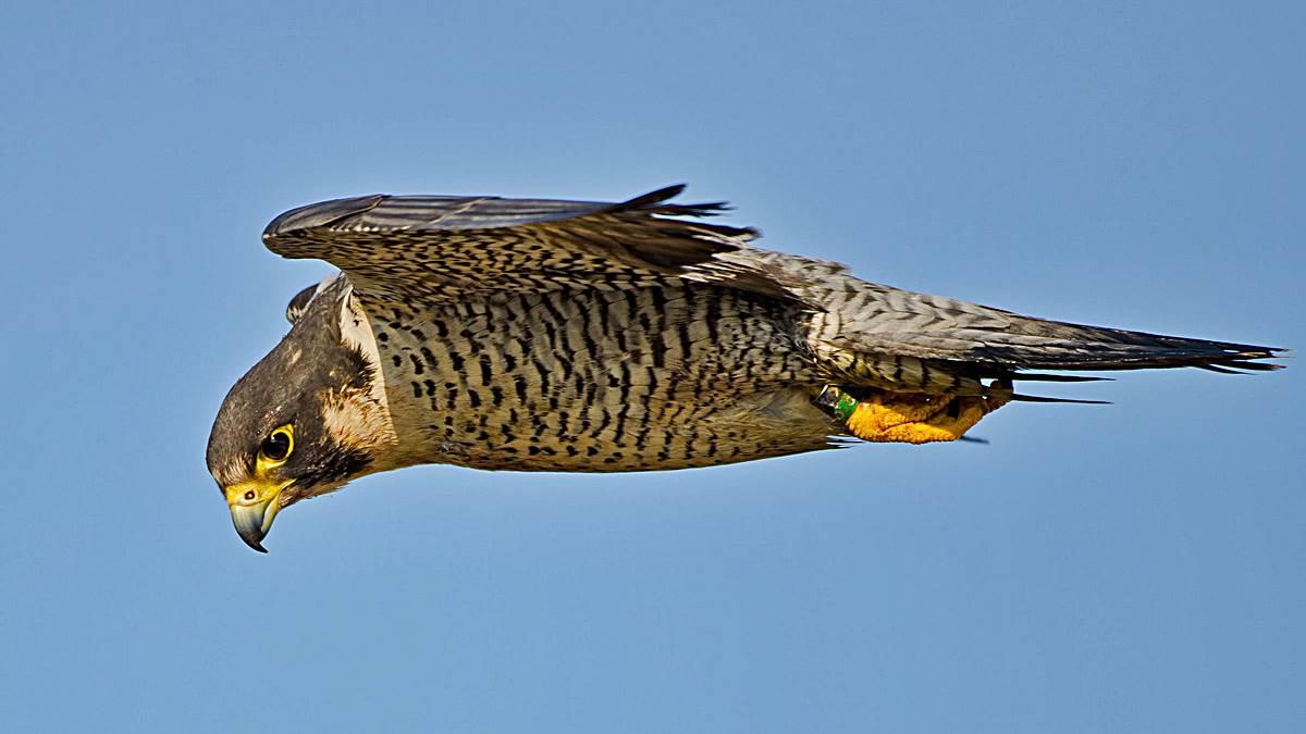 Las 5 Aves Más Rápidas Del Mundo