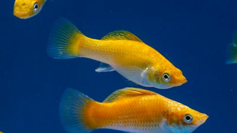 Descubre al pez Molly que se clona a sí mismo
