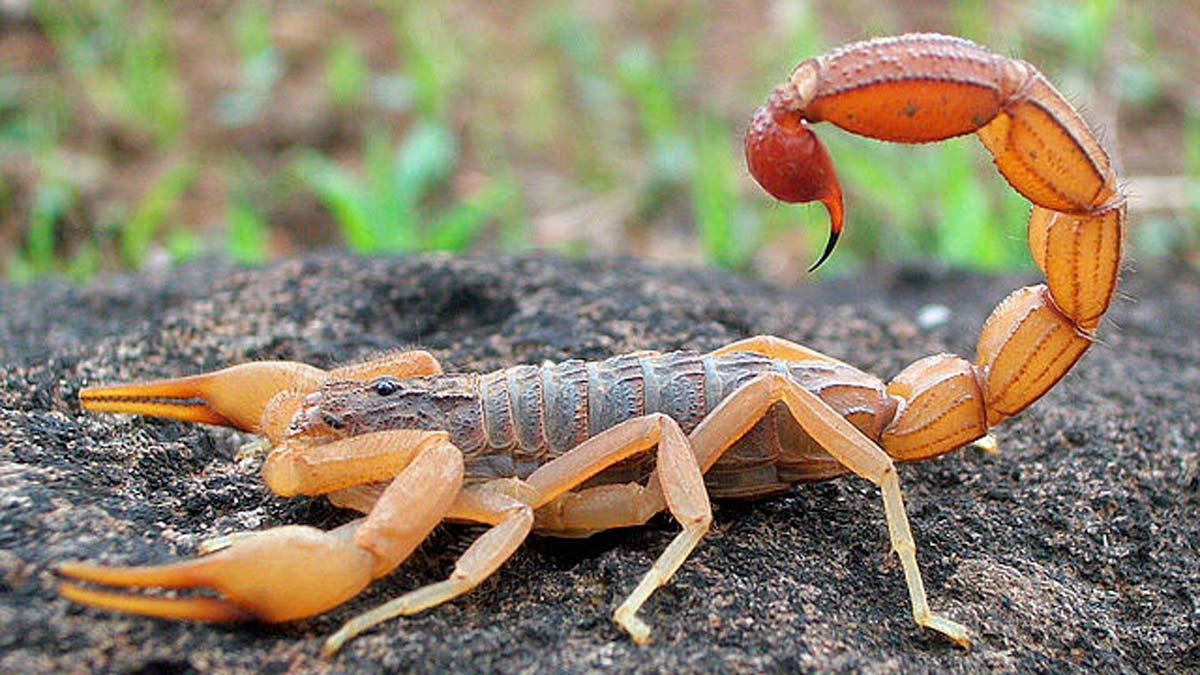 EL veneno de escorpión y sus increíbles usos médicos