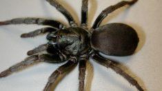 Observan un nuevo tipo de araña gigante en California
