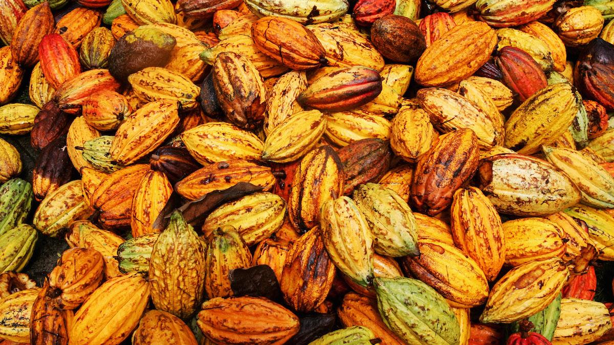 Granos de cacao en una plantación. (Foto: Getty Images)