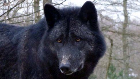 Conoce a los misteriosos lobos negros de Norteamérica