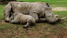 Descubre cómo el último rinoceronte blanco del norte busca perpetuar la especie con Tinder
