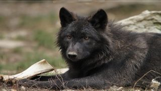 Lobos negros de Norteamérica