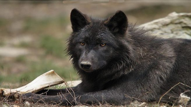 lobos negros