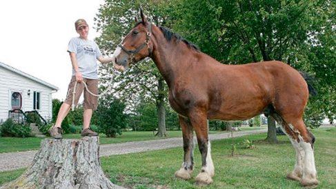 Este es Poe el caballo más grande del mundo (4)