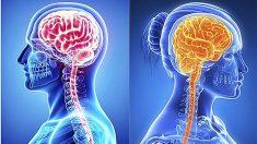 5 diferencias entre el cerebro del hombre y la mujer