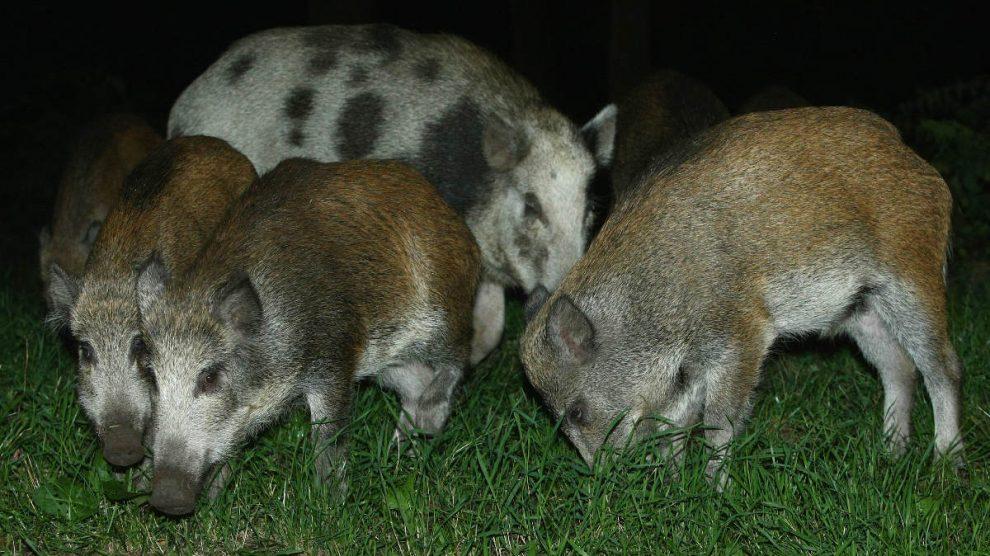 Un grupo de jabalíes.