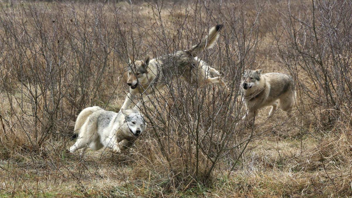 Tres lobos (Foto: Getty).