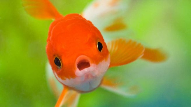 C mo respiran los peces bajo el agua for Peces que no necesitan oxigeno