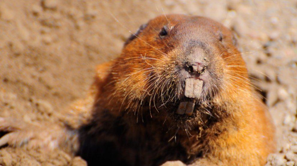 Anota 5 curiosidades sobre las ratas topo desnudas