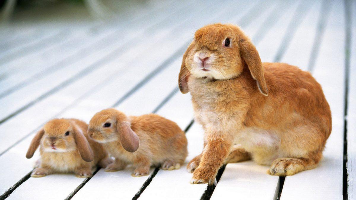 Diferencias entre los conejos y las liebres