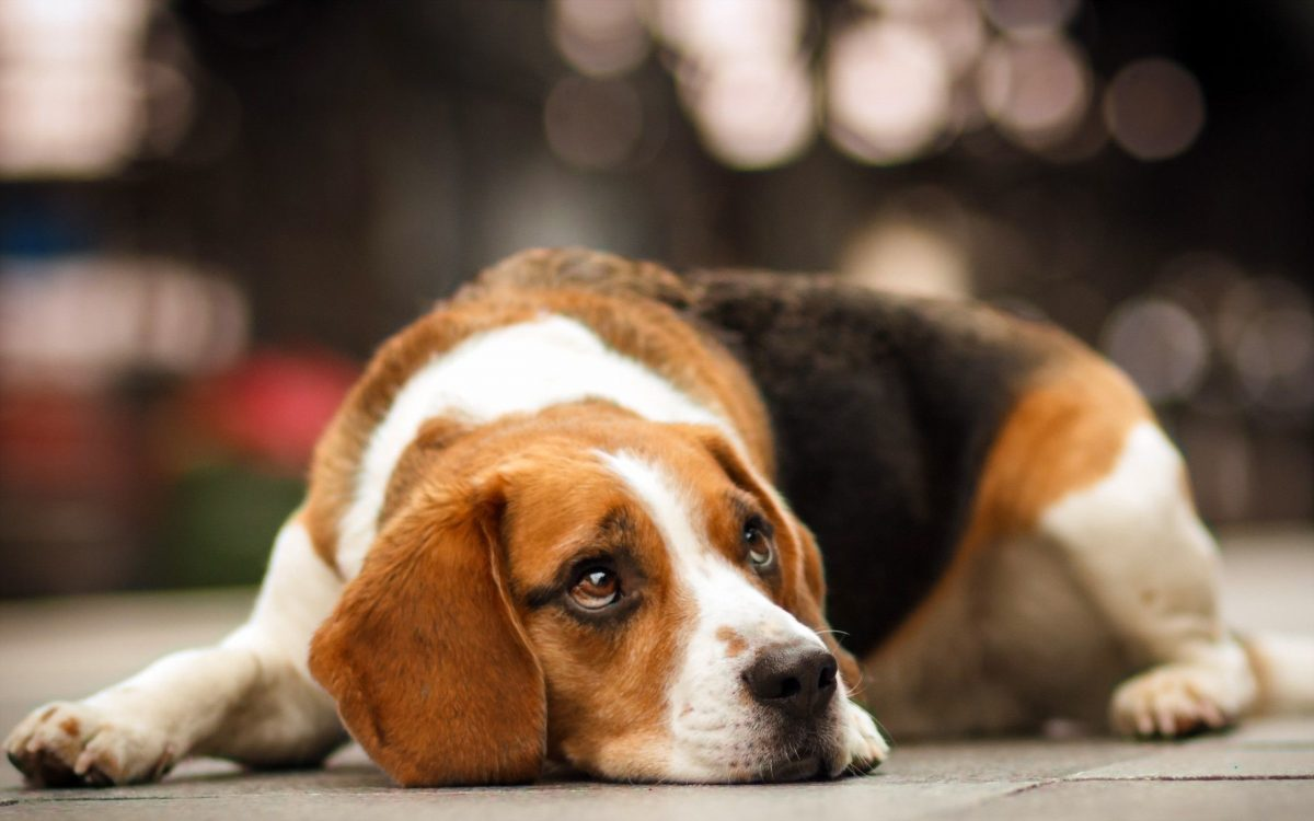 ¿Por qué aúllan los perros? Conoce las razones principales