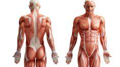 ¿Cuál es el músculo más fuerte del cuerpo humano?
