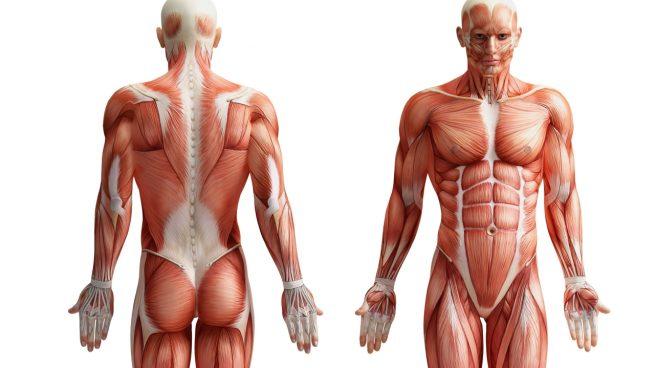 Cuál es el músculo más fuerte del cuerpo humano?